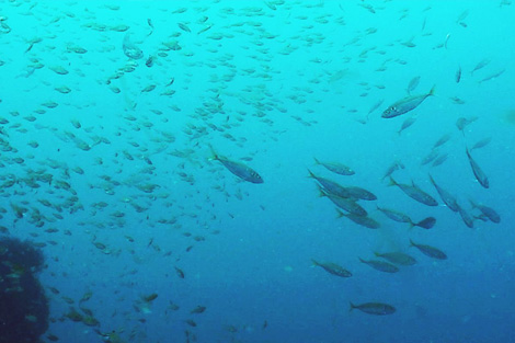 No yellowtail amberjack can be seen, but a school of horse mackerel and other bait species can be seen.