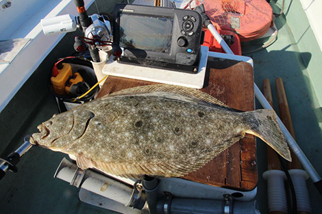 Olive Flounder Catching Up With Fish Furuno Fishing Universe For gene ontology i checked the gene ontology website but also i didn't find olive flounder. olive flounder catching up with fish