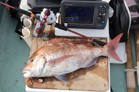 A 60cm male red seabream caught.